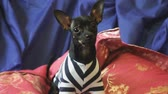 dog : Dog toy-terrier barks and poses on the camera on a blue sofa