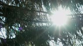 quebra cabeças : The suns rays illuminate the fir trees branches