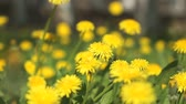floral : Beautiful yellow dandelions on a green meadow on a sunny spring day Stock Footage