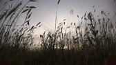 inculto : Shot from the ground at sunset in an uncultivated field with silhouettes of ears moving with wind Stock Footage