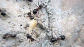 formiga : Animal macro wilderness footage: many ants eating bread and insect and carry food