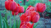 tulipany : Beautiful red tulips growing in the garden. Spring blooming close up. Moving of camera across blooming tulips in the garden. Soft focus, blurred background.