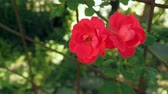 różaniec : Red roses swing in the wind in the garden. Two red rose-buds blooming close up. Outdoor rosary at summer. Red roses against the background of green leaves. Blurred background, soft selective focus