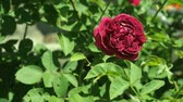 bordo : Claret red rose flowering in rosary close up. Deep red rose with green leaves in the garden. Flower blossoms in rosarium. Claret red rose-bud blooming. Blurred background, soft selective focus