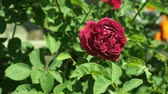różaniec : Claret red rose swings in the wind in rosarium. Deep red rose against the background of green leaves, close up. Claret red rose bush flowering in the garden. Blurred background, soft selective focus Wideo