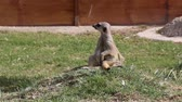 осторожность : meerkat watching enemies
