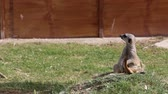 suricate : meerkat on alertness