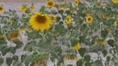 fitoterapia : sunflower at wind in the sunflower field Stock Footage