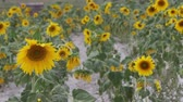fitoterapia : flapping sunflower in the sunflower field