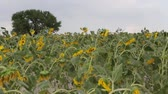 inflorescência : sunflower field and tree
