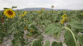 fitoterapia : sunflower field Stock Footage