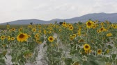 fitoterapia : wind and the wide sunflower field