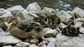 Ducklings family and mother siting on rocks. slow motion. Stock Footage