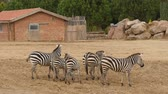Group of zebra Stock Footage