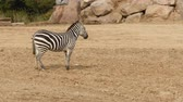 zebra in the nature Stock Footage