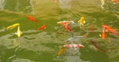 Many carp fish swimming in the pond. Top view.