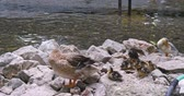 Ducks and ducklings cleans the feathers on the rock near the pond.