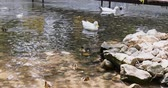 Two white ducks and ducklings are swimming in the pond.