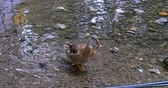 A multicolored brown duck walking through camera in water.