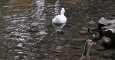 White duck and ducklings swimming in the river water.
