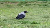 Crow calmly walking on grassy lawn in the park.