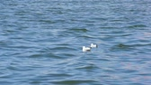 Two seagull floating on the surface of the sea. Stock Footage