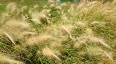 flower growing : Closeup of beautiful ornamental grass blowing in nature. Super slow motion.