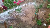 разбрызгиватель : Watering flowers in yard with garden water hose. Super slow motion. 960fps