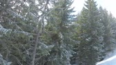 fir trees in ski resort