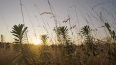 prérie : field of grass. Sunset behind the silhouette of grass