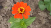 расцвет : Zinnia Flower Sway In the Wind. Beautiful red flower in the garden swinging in the wind.