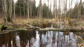 pântano : River water flow in the forest. Wetland of the pond
