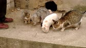 chory : Man feeds homeless cats. Hard life of disadvantaged animals in the city. Wideo
