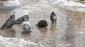 haşarat : Pigeons bathe in the dirty cold water. On the street winter, cold, ice