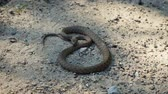 adder : The Viper took up a protective stance. Dangerous snake