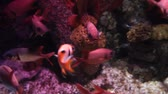 salário : Shoal of red tropical fishes with big eyes floating. Underwater scene