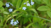 Group of fresh blue Forget-me-not flowers with dew swinging on the wind Stock mozgókép