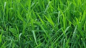 Fresh Green Grass with Drops of Dew. Spring Nature Background