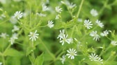 Wild Stellaria White Flowers Swinging on the Wind. Spring Nature Background