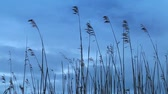 Nature background. Dry coastal reed silhouettes swaying in the wind above dark blue sky Stock mozgókép