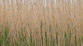 Nature background. Coastal reed swaying in the wind