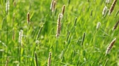 Nature summer background with foxtail grass on the wind Stock mozgókép