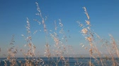 Wild dry coastal grass waving on wind above blue sky and sea Stock mozgókép