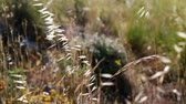 Macro video of wild dry grass waving on wind Stock mozgókép