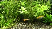 ploutve : Aquarium habitants picking up grains of fish food from substrate in heavily planted tank Dostupné videozáznamy