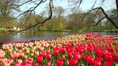 Tulips in the park Keukenhof,  the worlds largest flower garden, situated near Lisse, the Netherlands.