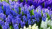 Hyacinths in the park Keukenhof,  the worlds largest flower garden, situated near Lisse, the Netherlands. Vídeos