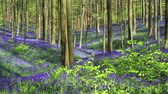 Bluebell flowers (Hyacinthoides) in Halle Forest, a mystical forest in Belgium.
