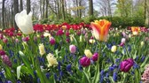4K. Flowers in the park Keukenhof,  the worlds largest flower garden, situated near Lisse, the Netherlands.