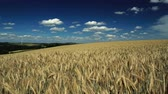 Ripe wheat in anticipation of the harvest in Luxembourg.